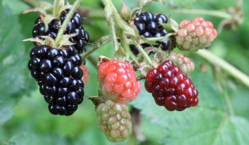 Benefits of Blackberry Juice